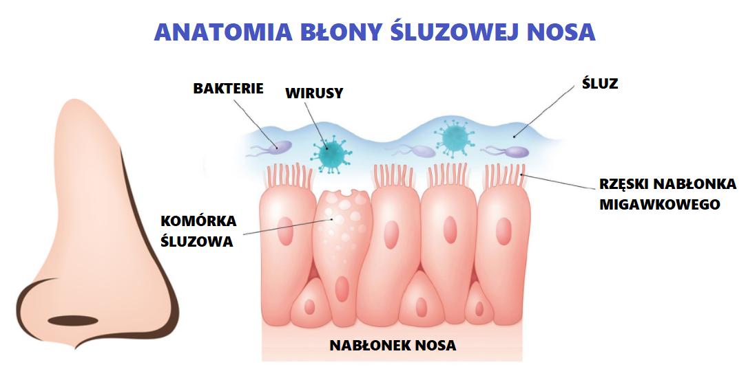 rinozine - anatomia błony śluzowej nosa